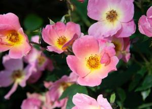 Closeup of pink flowers with yellow centers